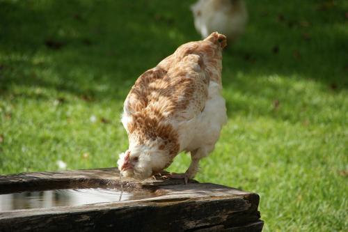 trinkende Henne
