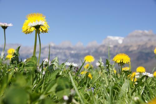 Blumenwiese mit Churfürsten im Hintergrund