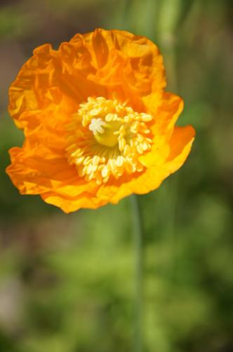 Oranger Mohn
