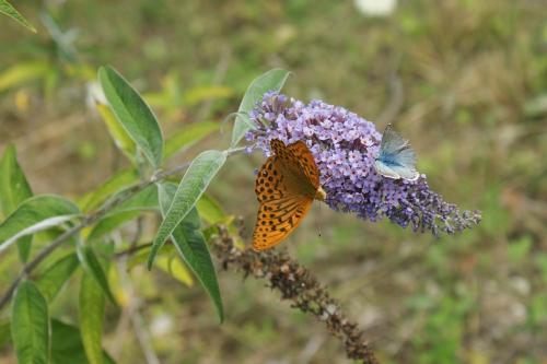 Schmetterlinge auf Sommerflieder