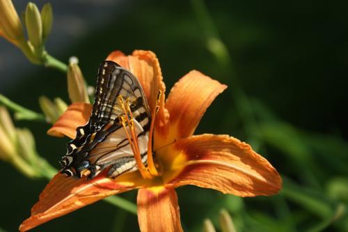 Schmetterling auf Lilie
